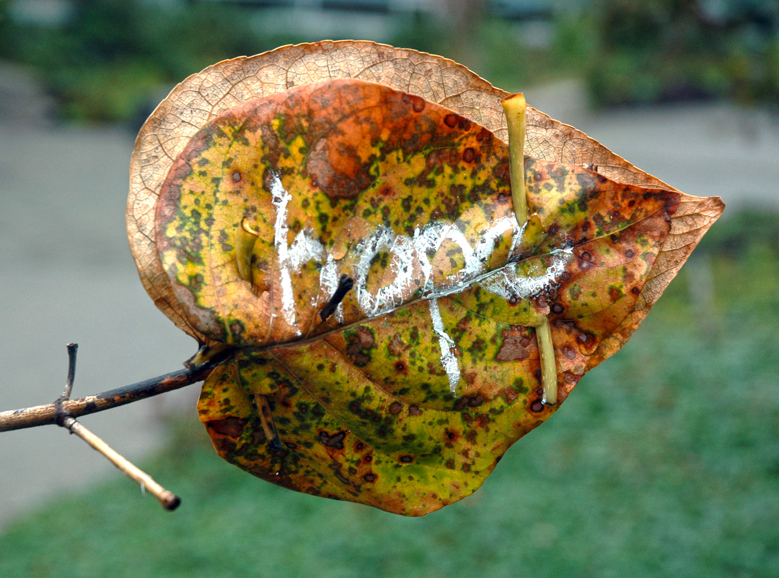 Salal leaf message of hope